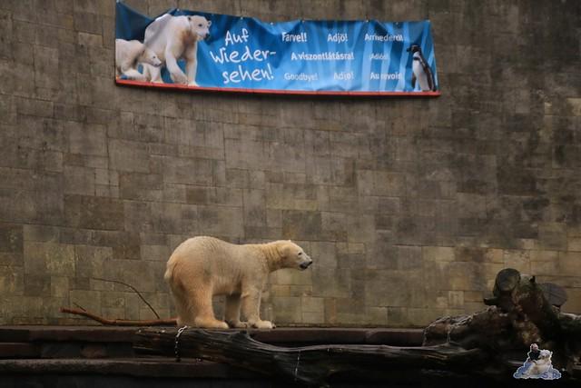 Eisbär Fiete im Zoo Rostock 05.11.2016 071