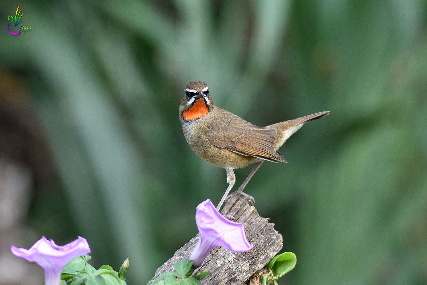 Rubythroat_2779