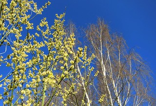 Willow Catkin And A Blue Sky | by derNubo