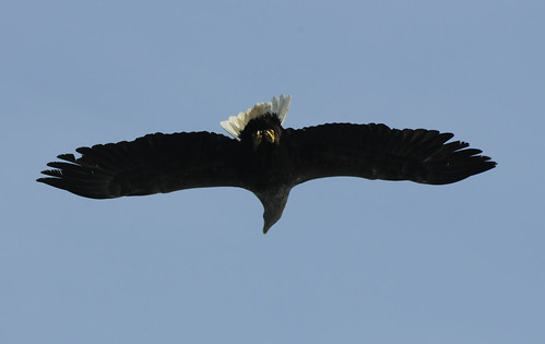 Eagle Overhead! | by Wild Freckle