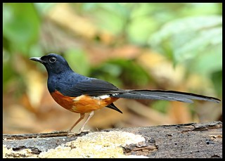 White-rumped Shama | by hiker1974