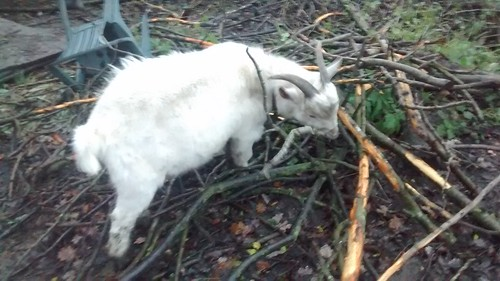 goats eating bark Nov 16 (7)