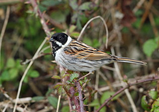 Reed Bunting | by pixelbob