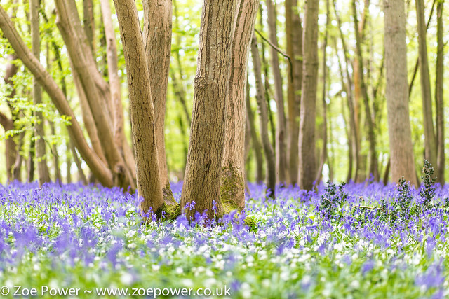 Arlington Bluebell Walk, East Sussex