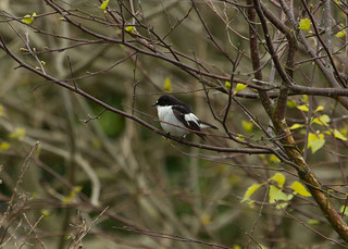 pied flycatcher | by roly2008.