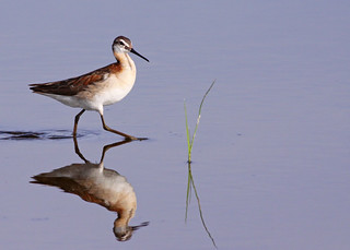 Wilson's Phalarope...#10 | by Guy Lichter Photography - 3.7M views Thank you