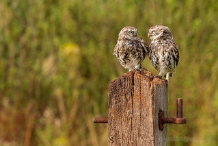 "AW9H3831 - ""Here's looking at you kid"" - Little Owls [Explored 05/09/2013] 