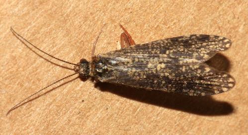 Polycentropus irroratus 6639