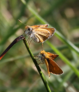 2012_06_13 VIC - Small Skipper (Thymelicus sylvestris) 03 | by Oretani Wildlife (Mike Grimes)