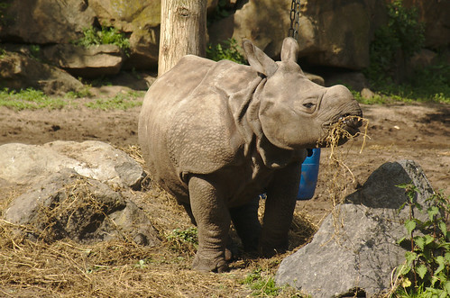 "Baby Rhino eating | by Marcel ""MadJo"" de Jong"