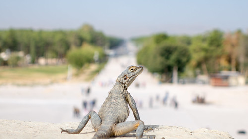 Nonchalant lizard at Persepolis | by Magh