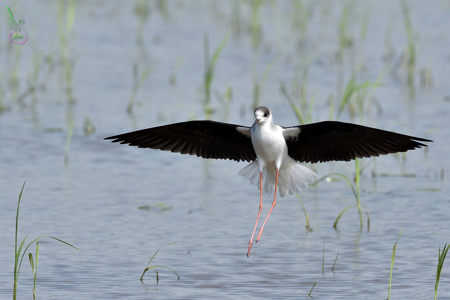 Black-winged_Stilt_1146