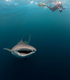 Whale Shark below | by Paul Cowell