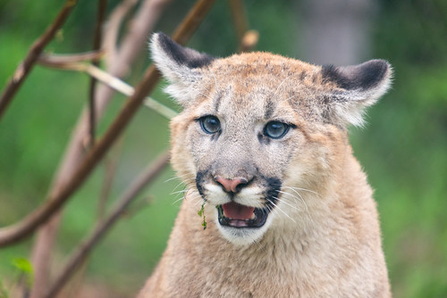 Cougar Ears Out | by Eric Kilby