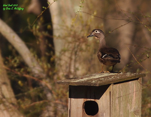 Wood Duck | by delrcher
