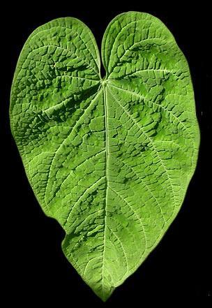 Anthurium corrugatum_enid