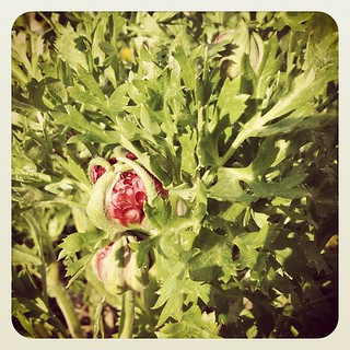 My beefy ranunculus is about to bloom! #garden2012 | by Nathan Wade Carter