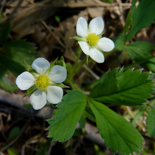 Wild Strawberry | by Dendroica cerulea