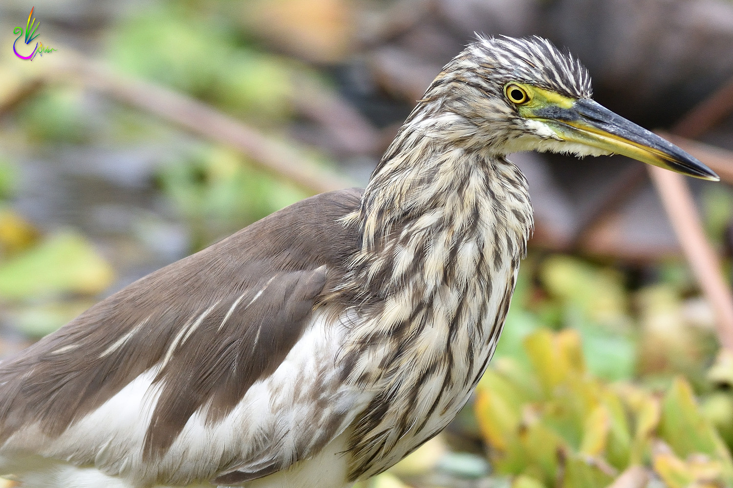 Chinese_Pond_Heron_3328