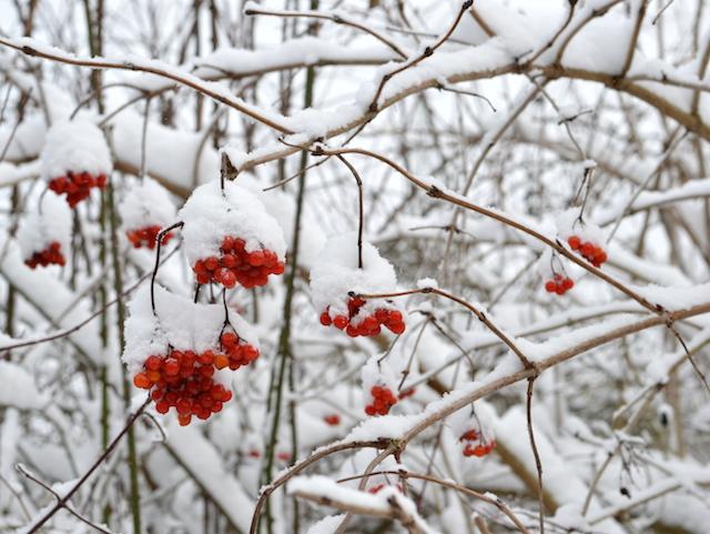 Vogelbeeren im Schnee