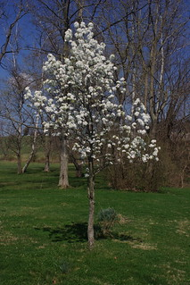 Callery Pear | by eggrole