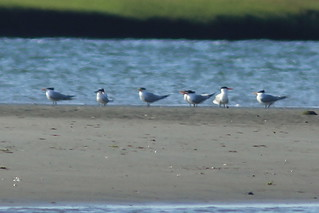 Sandwich Tern, Stone Harbor Point, Stone Harbor, NJ 6/9/12 | by Larry Scacchetti