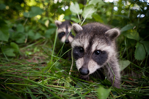 Raccoon Babies! | by goingslowly