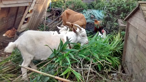 goats eating bamboo Oct 16 4