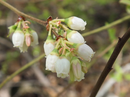 Blueberry Blossoms | by RonG58