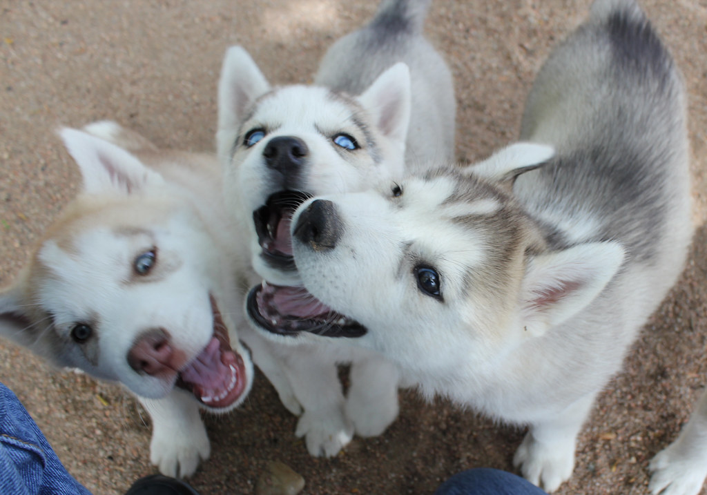 The Pros And Cons Of Having Siberian Huskies As Pets