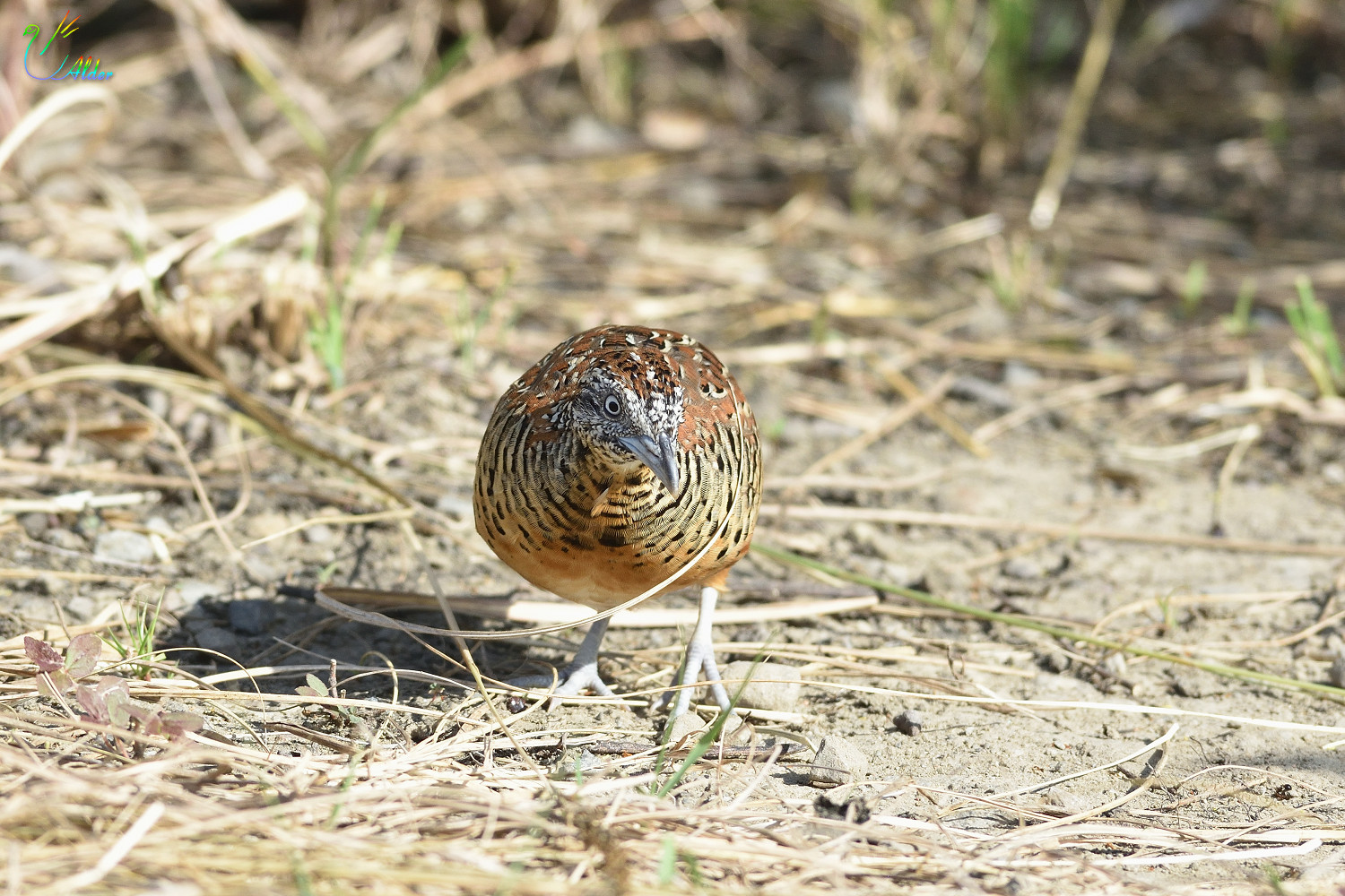 Barred_Buttonquail_2478