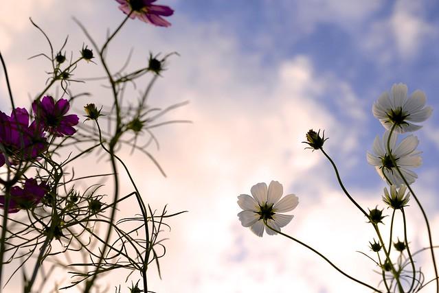 夕暮れに咲くコスモス