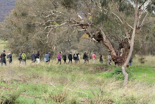 Walking beneath a grand old Yellow Box (Eucalyptus melliodora) in the North Watson Woodlands | by Australian Network for Plant Conservation