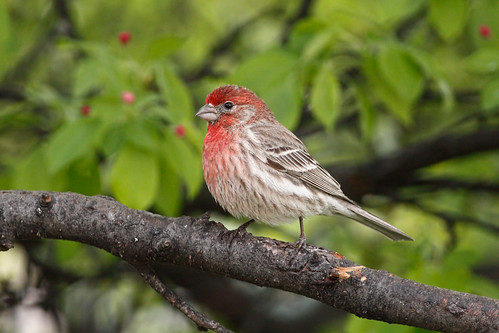 House Finch | by Tony Tanoury