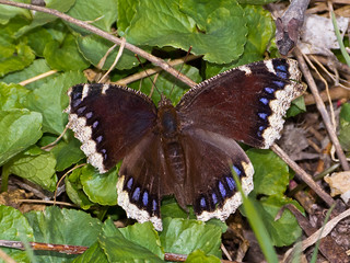 Mourning Cloak | by Happy_Peasant