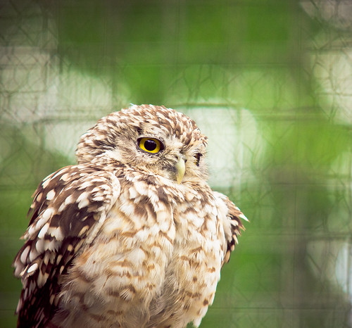 Spud the Burrowing Owl | by KeizGoesBoom