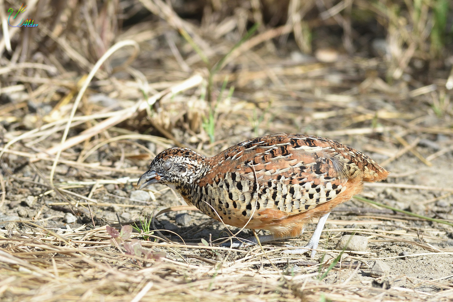 Barred_Buttonquail_2474