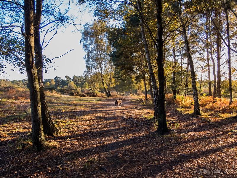 Through the silver birch grove