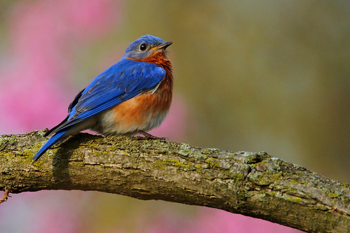 Eastern Bluebird in Early Spring Blooms | by TheNatureDude