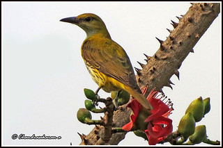 "2224 - golden oriole - ""Explored"" 