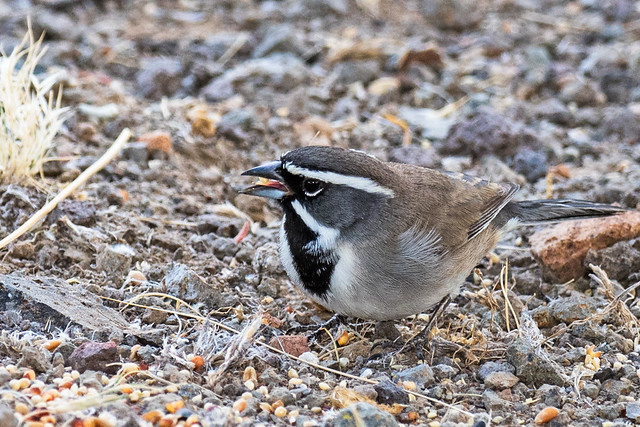 Black-throated-Sparrow-18-7D2-102816