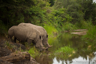 Rhinos By The River | by Stokography