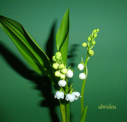 Lily of the Valley | by abrideu
