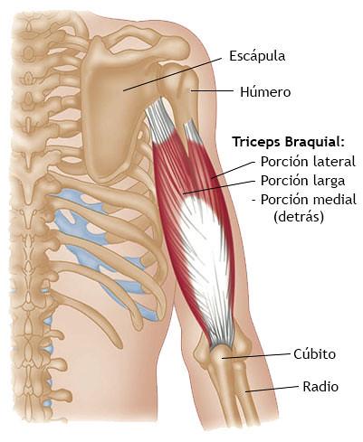 triceps-braquial   Tríceps braquial   Hamming Fernandez   Flickr