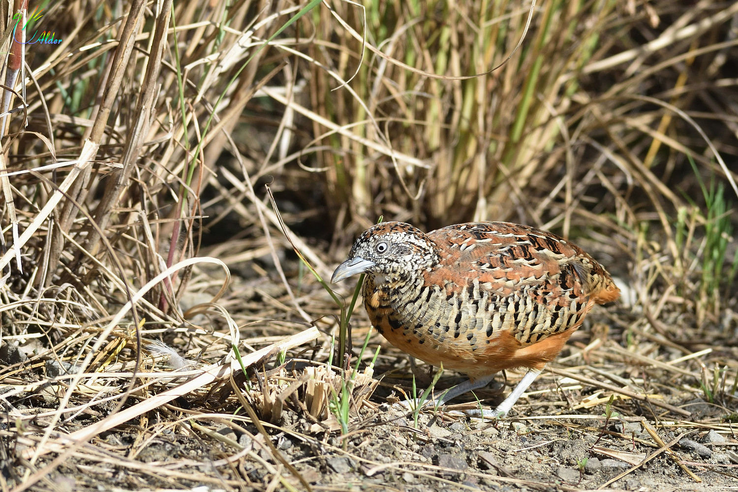 Barred_Buttonquail_2590
