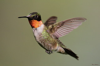 Ruby Throated Hummingbird | by Diane Marshman