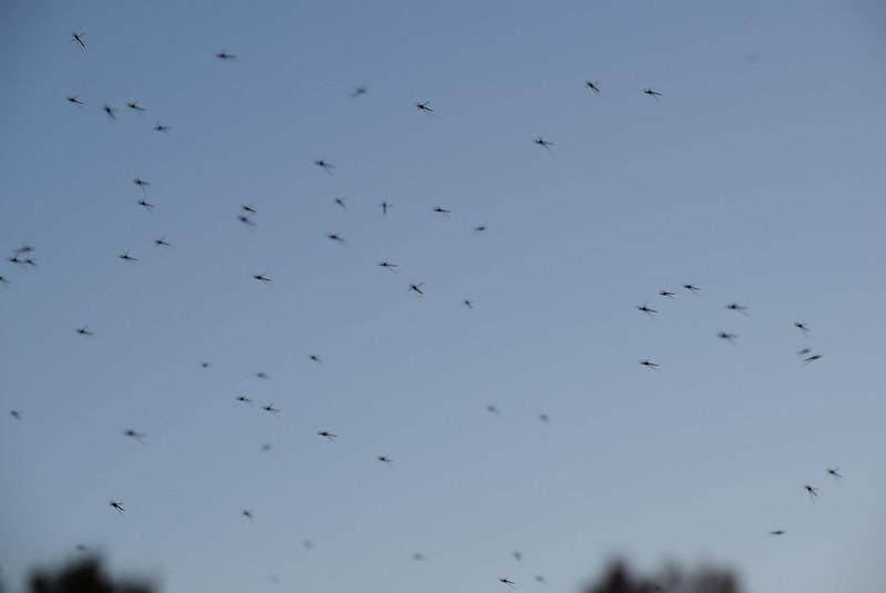 Gnats 30.10 (2)