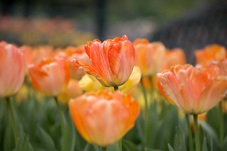 Beautiful Tulips | by westiemom1