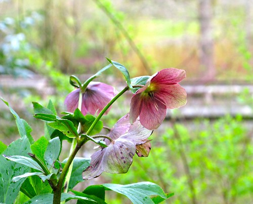 hellebores at van dusen gardens_2 | by Nest and Sparkle