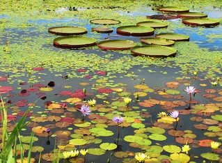 Lily Pads I | by Cher12861 (Cheryl Kelly on ipernity)